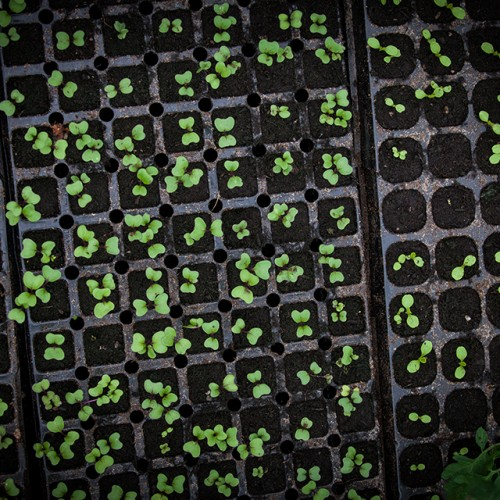 Trays of young seedlings