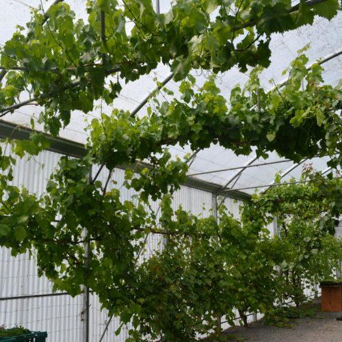 Grape Vine Gardens