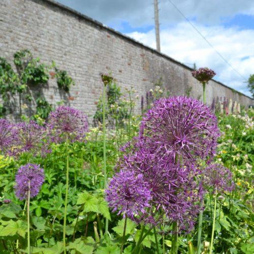 Allium gardens