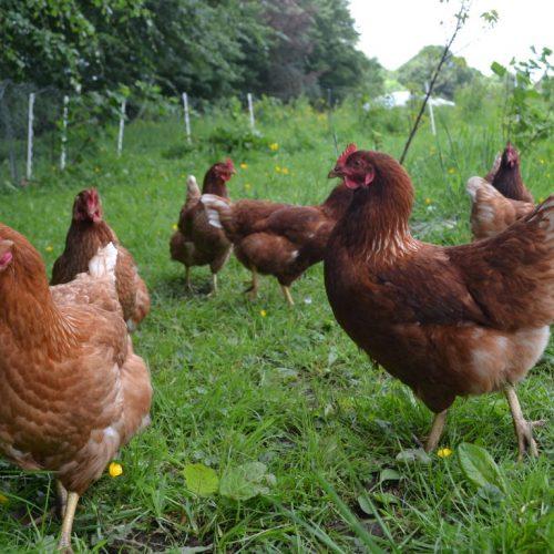 Free range chickens roaming the gardens
